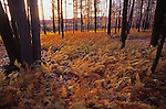 PA landscapes, Quehanna Wild Area, Hay Scented Fern, Autumn scenery
