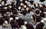Bald eagles feed along the Chilkat River, Alaska, USA