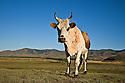Cow Mongolia