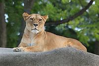 Female lion (Panthera leo leo), in the Zone Sahel-Soudan of the new Parc Zoologique de Paris or Zoo de Vincennes, (Zoological Gardens of Paris or Vincennes Zoo), which reopened April 2014, part of the Musee National d'Histoire Naturelle (National Museum of Natural History), 12th arrondissement, Paris, France. Picture by Manuel Cohen