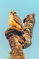 A rare Hawaiian hawk (or 'io), Hilo, Big Island of Hawai'i.