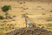 The most fragil of Africa's big cats, cheetah are built for quick, aggressive speed. The are solitary animals that range across the Mara-Serengeti eco system. Females cheetah live and hunt alone except when raising cubs, and can reach speeds up to 70 mph. This female has a full belly after a recent meal. .