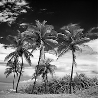 Coconut Trees, Havana, Cuba | Black & White
