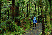 Hiker in rainforest, Westland National Park, New Zealand