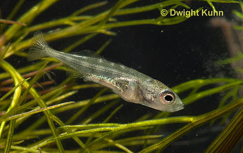 1S72-560z  Threespine Stickleback, Four week old Young, Gasterosteus aculeatus,  Hotel Lake British Columbia