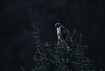 Red-tailed Hawk perched on a tree