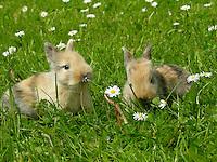 Zwergkaninchen, Zwerg-Kaninchen, Jungtiere auf Wiese mit Gänseblümchen, dwarf rabbit