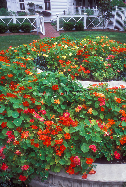Tropaeoleum majus annual nasturtiums in bloom in tiered circular garden bed near house and fence