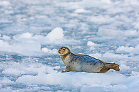 Harbor seal hauled out on floating ice bergs in Barry Arm, Prince William Sound, southcentral, Alaska.