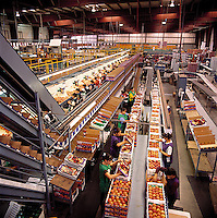 Agriculture - Tree fruit packing facility, workers packing peaches / Fresno County, California, USA.