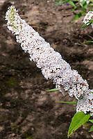 Butterfly Bush white Buddleja davidii 'Les Kneale'