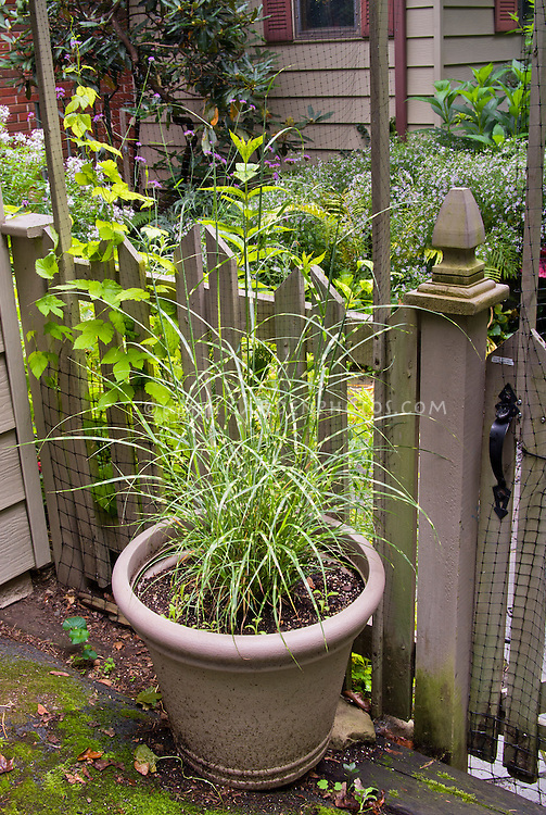 Ornamental grasses in containers at entrance to garden for Ornamental grasses for planters