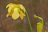 168550002 a wild pitcher plant sarracennia alata a carnivorous plant in flower near boykin springs in jasper county texas united states