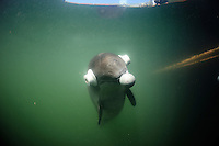 Harbor Porpoise (Phocoena Phocoena) being trained, Fjord &amp; Baelt, Denmark