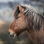 Horse Portrait, The Icelandic Horse