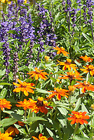 Zinnia 'Profusion Orange' with Salvia farinacea in summer blooming