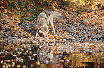 Gray wolf sniffs at pond's edge, Minnesota, USA