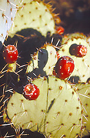 OPUNTIA CACTUS<br /> Prickly Pear Fruits<br /> Prickly pear cactus represent about a dozen species of the Opuntia genus (Family Cactaceae) in the North American deserts. All have flat, fleshy pads that look like large leaves.