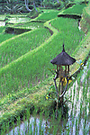 Rice Farming Terraces - Bali