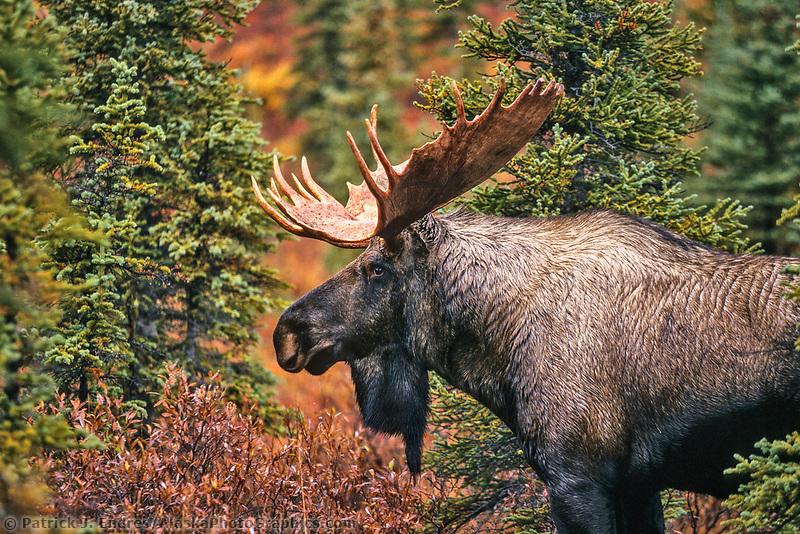 Bull Moose, tundra, autumn, Denali National Park, Alaska