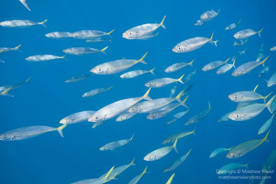 Scad mackerel fish school matthew meier for Guadalupe island fishing