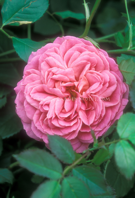 Rosa 'Jubilee Celebration' pink rose, English rose from David Austin, Salmon Pink with strong fragrant flower, named for Queen Elizabeth II