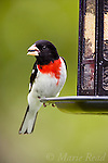 Rose-breasted Grosbeak (Pheucticus ludovicianus) male in breeding plumage, feeding on sunflower seed from feeder, New York, USA