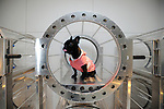 A French bulldog sits in an oxygen chamber made especially for pets at Air Press oxygen bar in Tokyo, Japan.