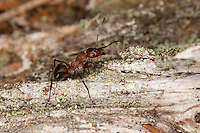 Strunkameise, Strunk-Ameise, Waldameise, Formica truncorum, Waldameisen, wood ant, wood ants
