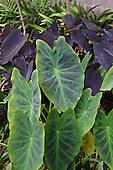 Kalo (or taro) plants, Big Island.