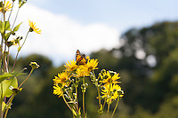 Monarch butterfly (Danaus plexippus) feeding on the yellow daisy-like flowers of the Cup Plant (Silphium perfoliatum).