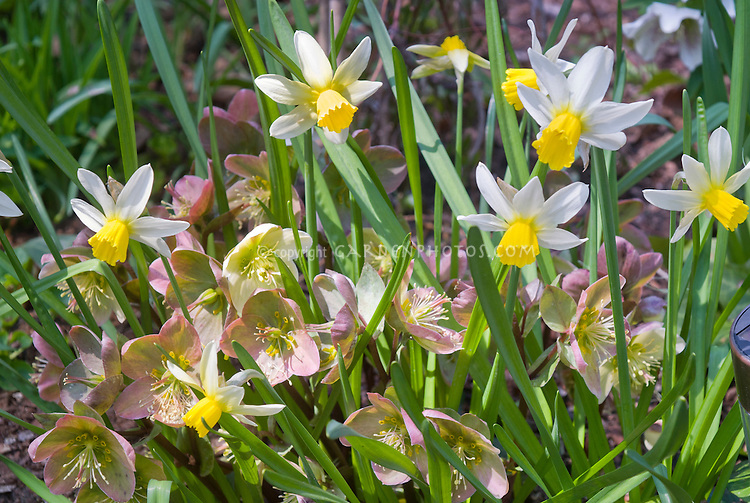 Helleborus and daffodils Narcissus Jack Snipe, perennial flowers with spring flowering bulbs