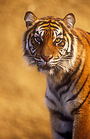 A Sumatran Tiger: Endangered species. ,Panthera tigris,