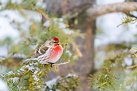 Common Redpoll on spruce branch, Fairbanks, Alaska