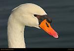 Mute Swan, Echo Park, Los Angeles, California