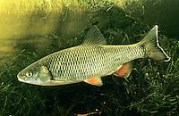 Döbel, Alet, Eitel, Aitel, Dickkopf, Leuciscus cephalus, Squalius cephalus, European chub, round chub, fat chub, chevin, pollard