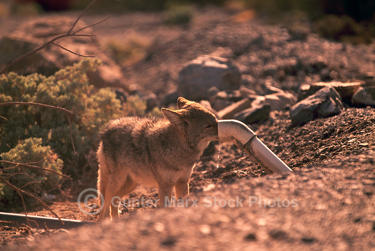 Coyote (Canis latrans) drinking Water from a Pipe, Death Valley National Park, California, CA, USA - North American Wild Animal