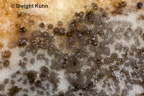 DC09-657z Black Mold (Aspergillus Fungi) growing on pumpkin, Aspergillus spp., shot at 8x