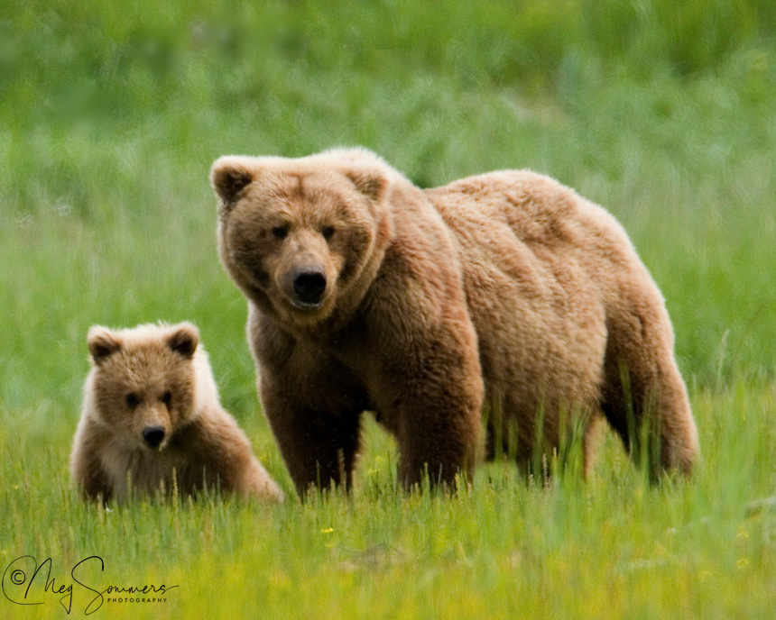 This Alaskan brown bear (Ursus arctos middendorffi) pair were a beautiful, and somewhat unique color of golden brown. This spring cub will hopefully grow up to be just as pretty as her mom.<br /> Halo Bay, Katmai National Park.