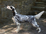 English Setter<br />