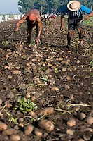 Workers picking  potatoes in a plantation in General Belgrano, Buenos Aires province, Argentina. Potatoes are grown by contractors of McCain corporation.