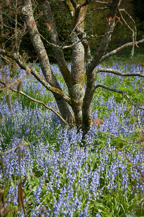 Acer tree and bluebells, Hinton Ampner, Hampshire, late April.