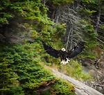 Eagles of Cape Breton Island