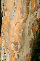Stewartia pseudocamellia tree trunk bark
