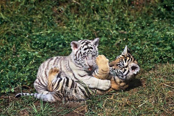 Tiger: Bengal Tiger (Panthera tigris tigris) cubs. | Tom ...