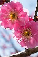 Close-up of Koubai or red ume (Prunus mume) blossoms in the spring in Japan.