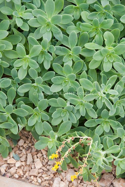 Sedum palmeri groundcover plant for sunny garden sites