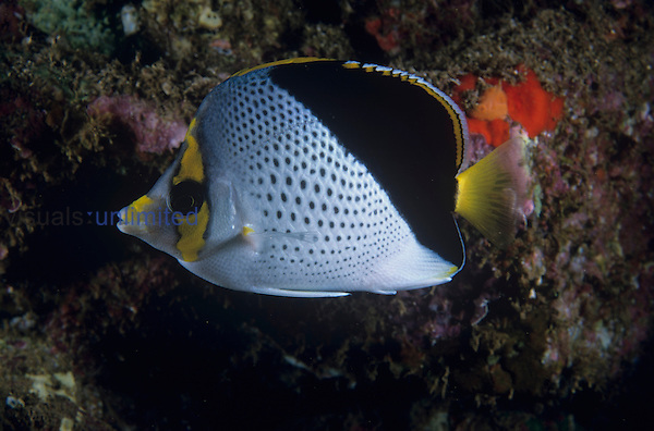 Tinkers Butterflyfish a rare and endemic species to Lanai, Hawaii, USA. ,Chaetodon tinkeri,