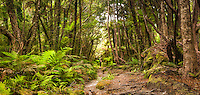 Tramper hiking through rainforest in Copland Valley, Westland Tai Poutini National Park, UNESCO World Heritage Area, West Coast, New Zealand, NZ