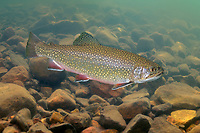 Brook Trout<br /> <br /> ENGBRETSON UNDERWATER PHOTO